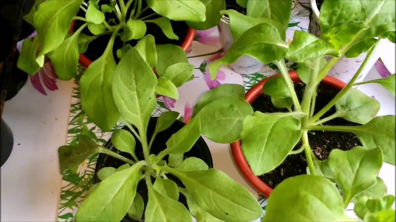 Петунии: размножение черенками. чем подкормить петунию для обильного цветения