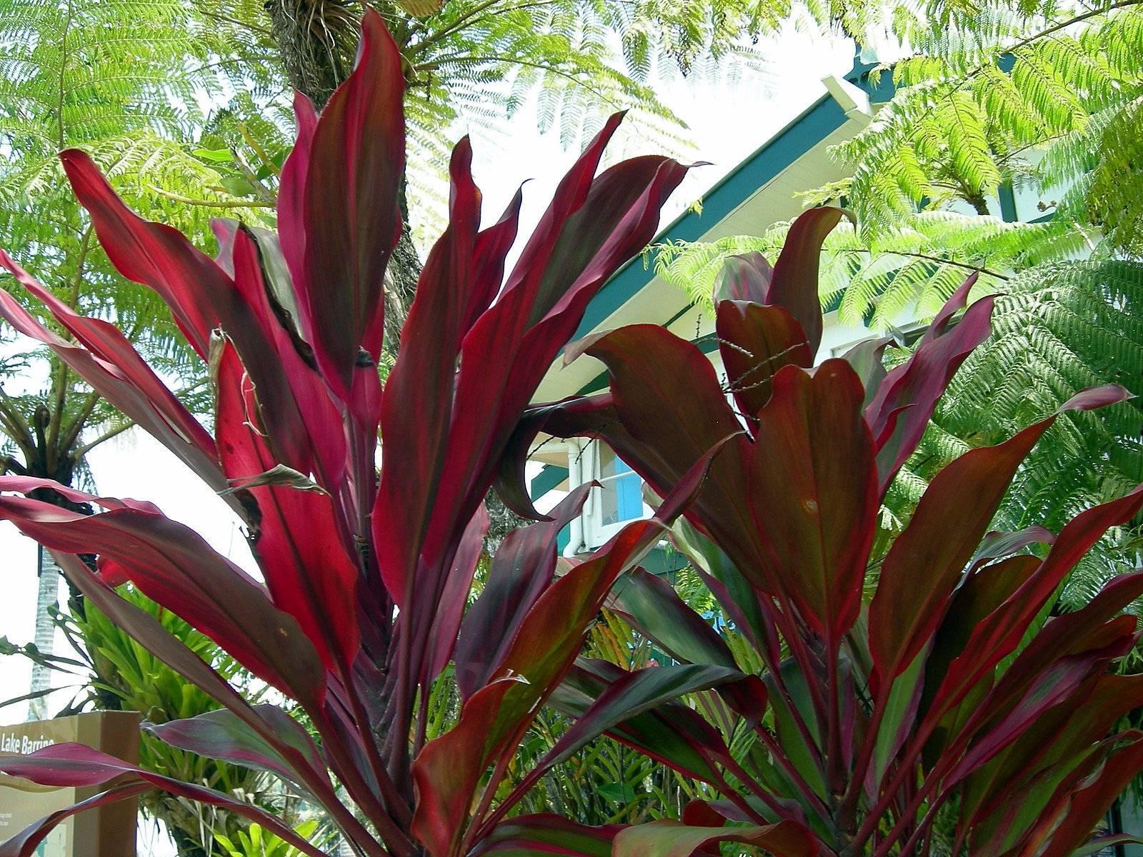 Как называется комнатный цветок с красными листьями
