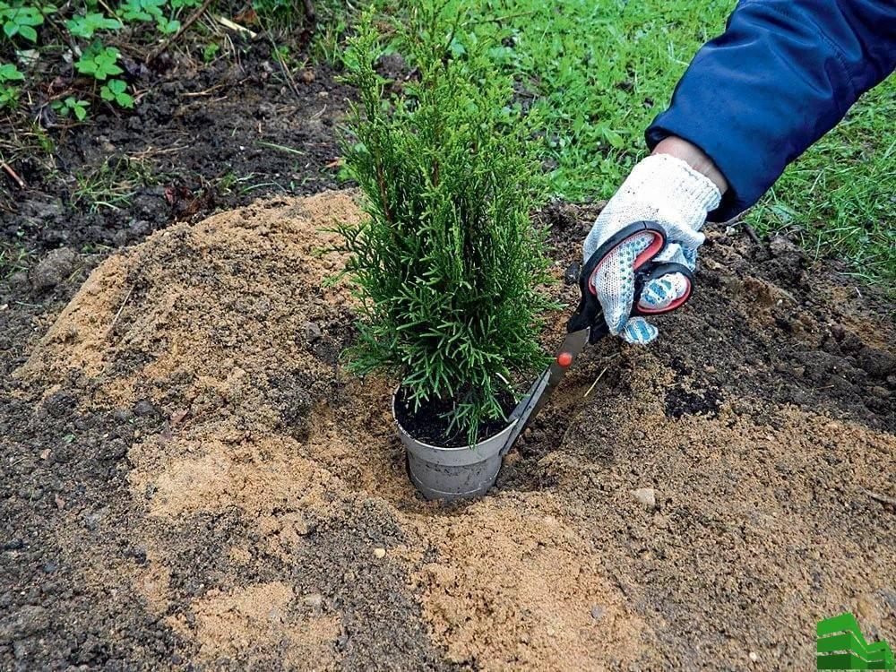 Как посадить и вырастить тую на урале: морозоустойчивые разновидности туи