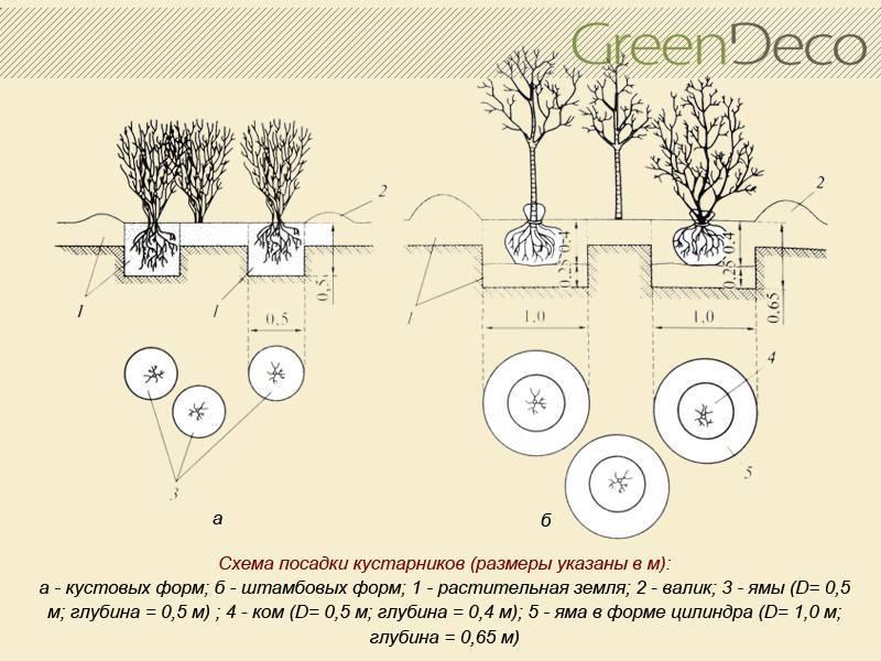 Расстояние между кустами роз при посадке в грунт, какое должно быть друг от друга