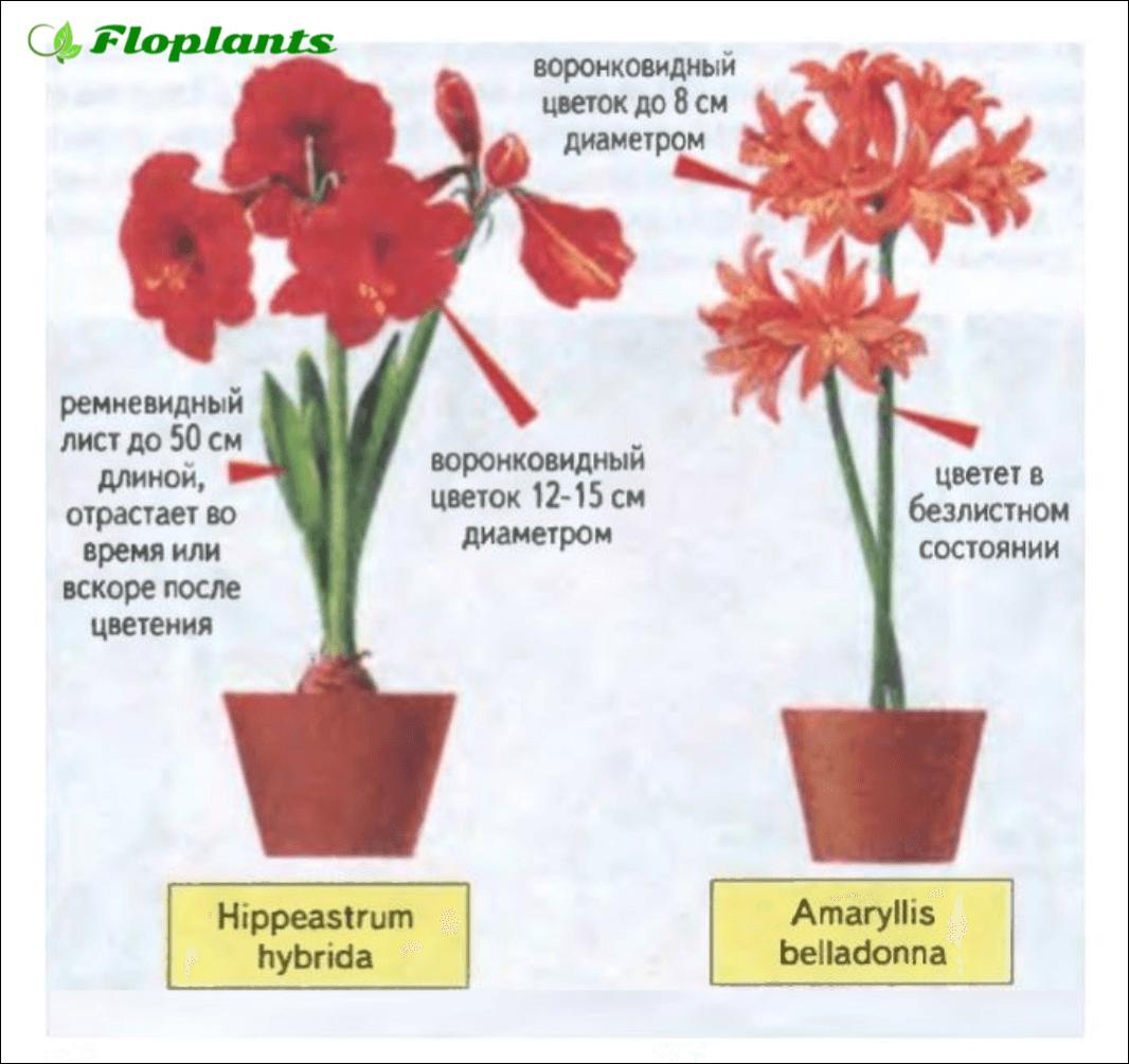 Гиппеаструм и амариллис: различия цветков и чем похожи, особенности ухода и разведения в домашних условиях