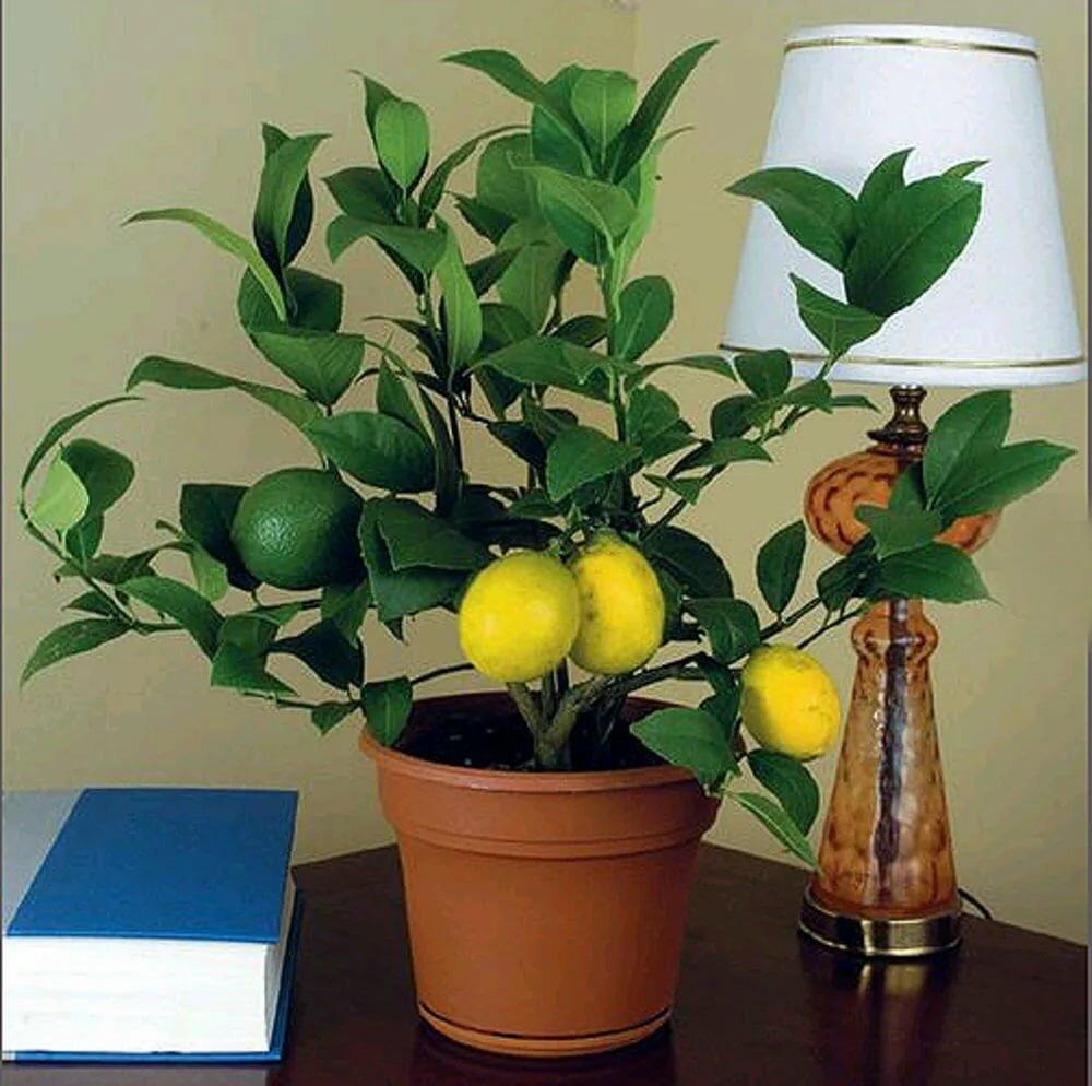 Цитрусовые комнатные растения — уход в домашних условиях