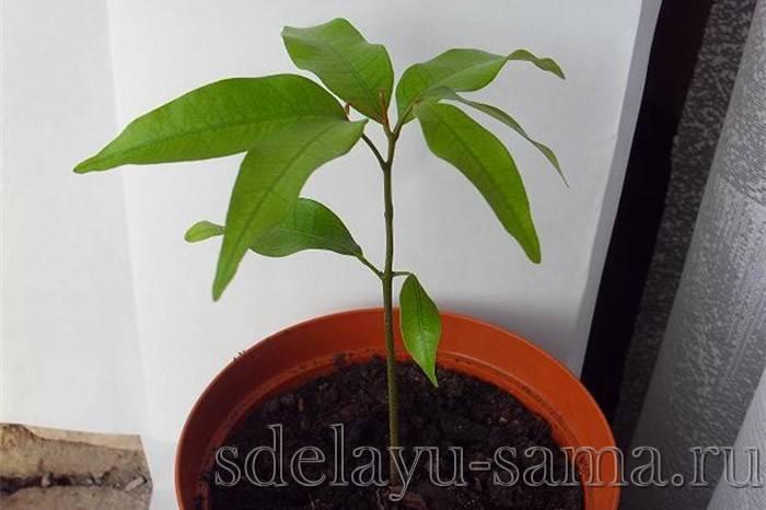 Личи: выращивание из косточки и полезные свойства фрукта