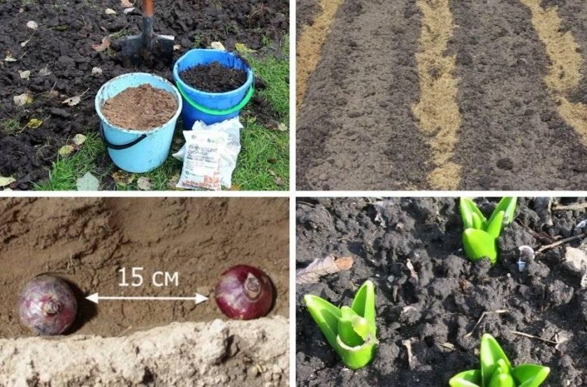 Гиацинт (73 фото): посадка цветка и уход за ним. это однолетнее или многолетнее растение? как выращивать гиацинт в домашних условиях из луковицы?