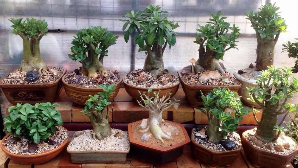 Какая почва нужна для адениума в домашних условиях: виды подбор и посадка