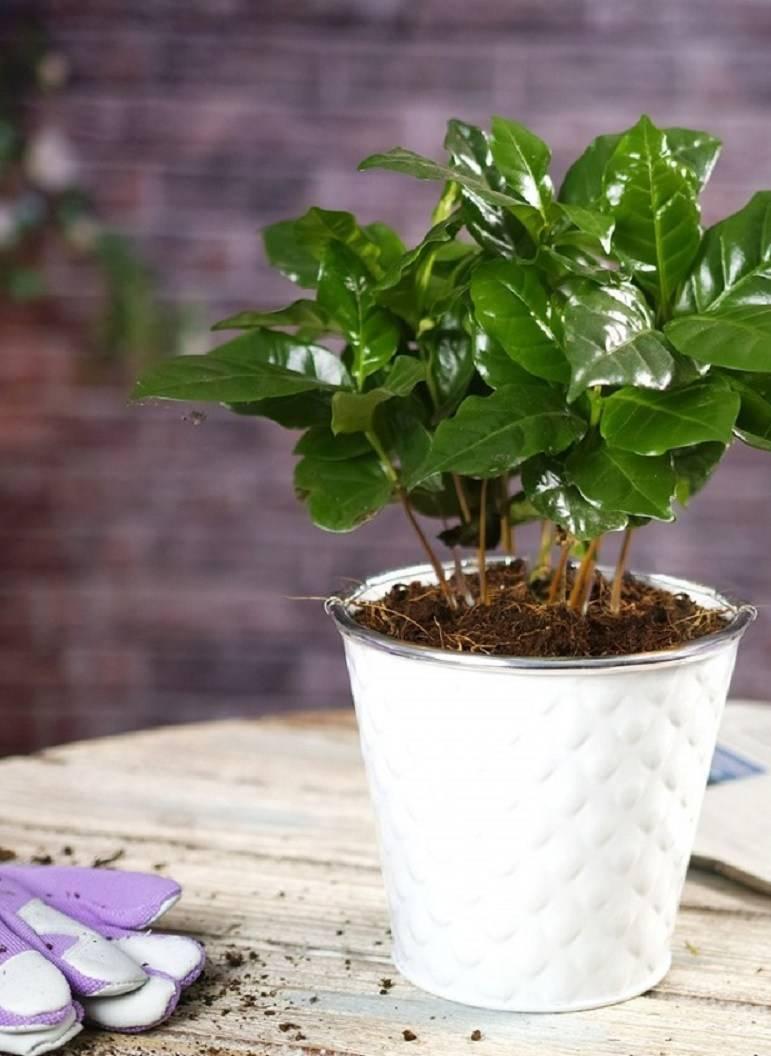Комнатные деревья: уход за растением кофе арабика в домашних условиях - pocvetam.ru