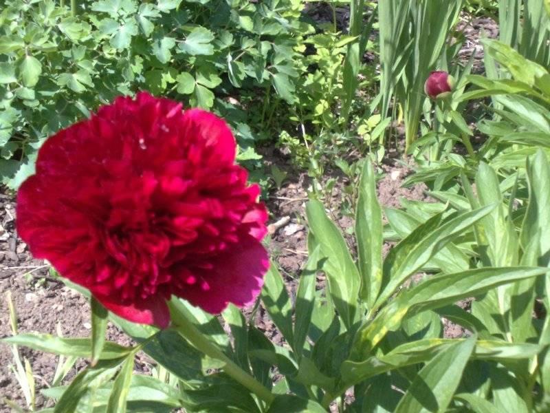 Все о уклоняющемся пионе: описание сорта марьина трава, уход за диким пионом дома