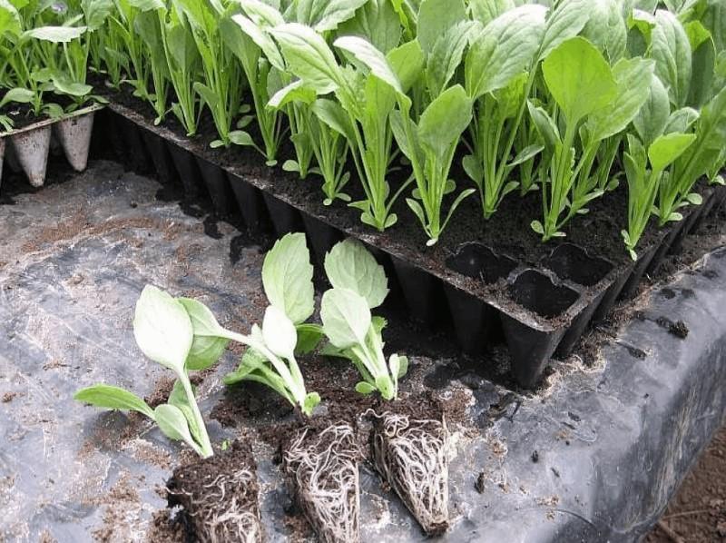 Агапантус, посадка и уход в открытом грунте. агапантус - посадка и уход в открытом грунте, выращивание из семян в домашних условиях