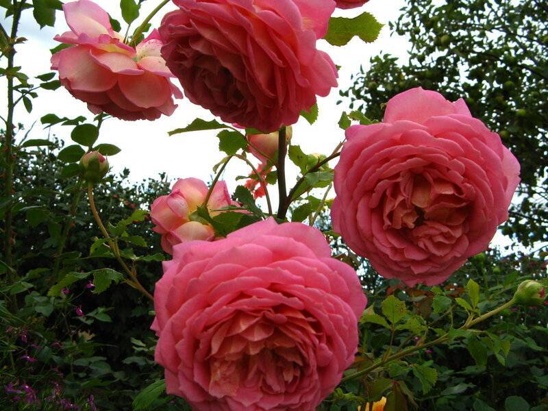 Разновидности и характеристики английских роз дэвида остина