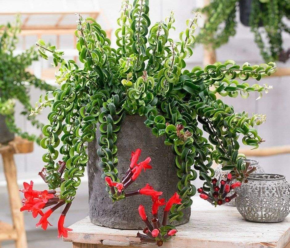 Эсхинантус: выращивание и уход в домашних условиях