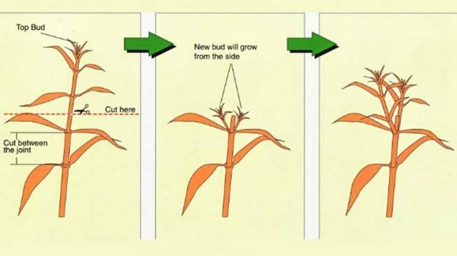 Размножение бегонии черенками в домашних условиях (20 фото): как укоренить черенок в воде? как размножить тростниковую бегонию и металлическую?