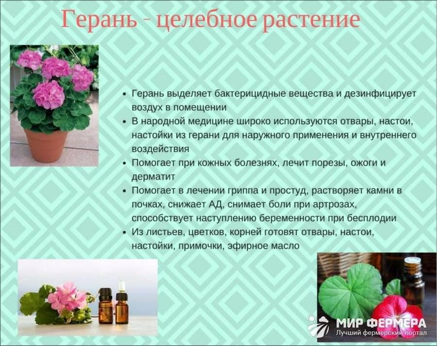 Знакомство сгеранью: виды садовой икомнатной пеларгонии
