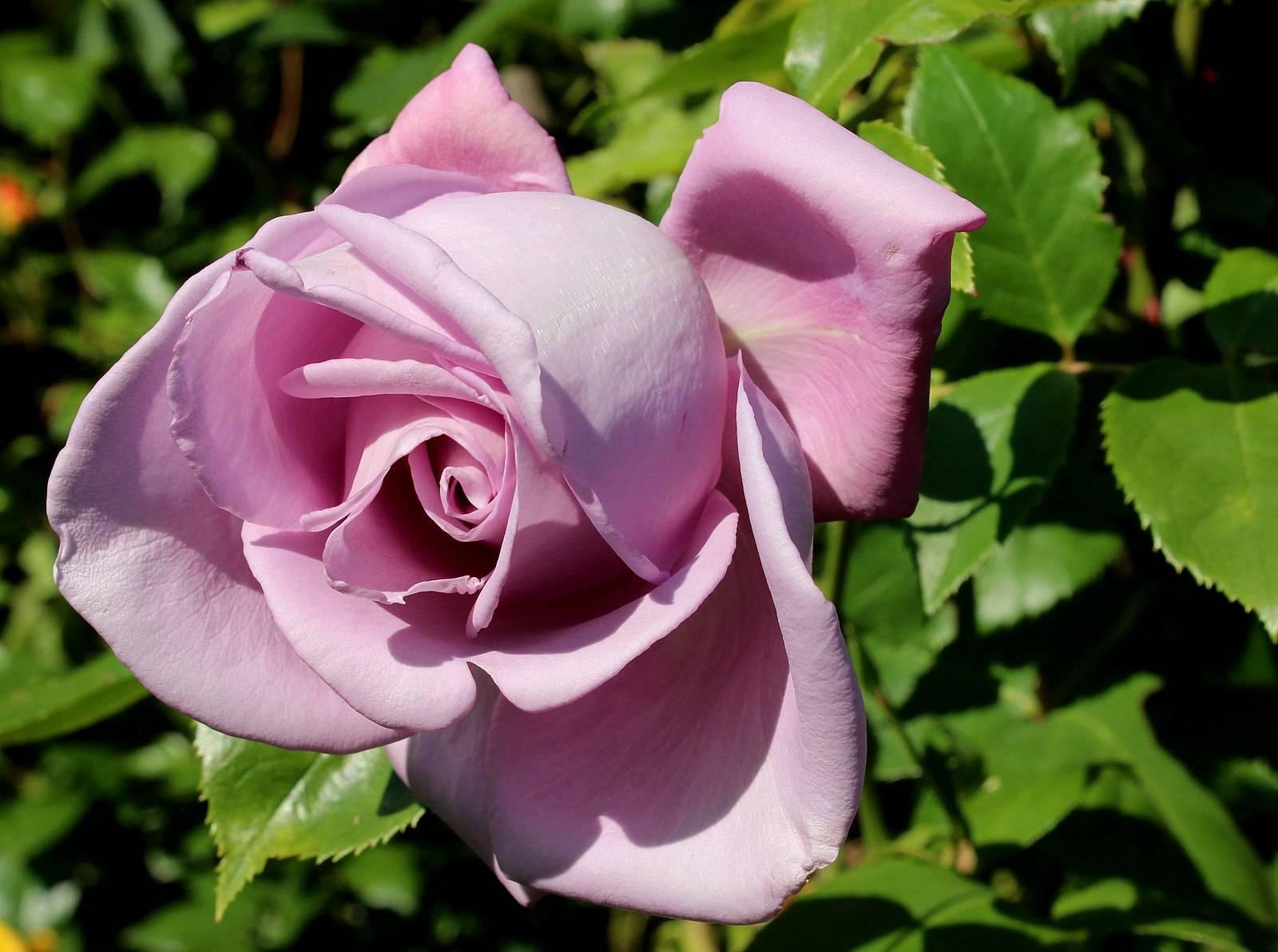 Саженцы роз майнцер фастнахт mainzer fastnacht