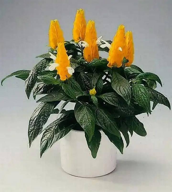 Уход в домашних условиях за растением мандевилла, виды с описанием и фото