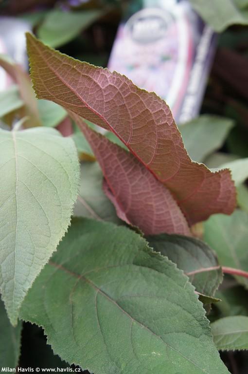 Голубые гортензии для сада: древовидные и метельчатые, как вырастить