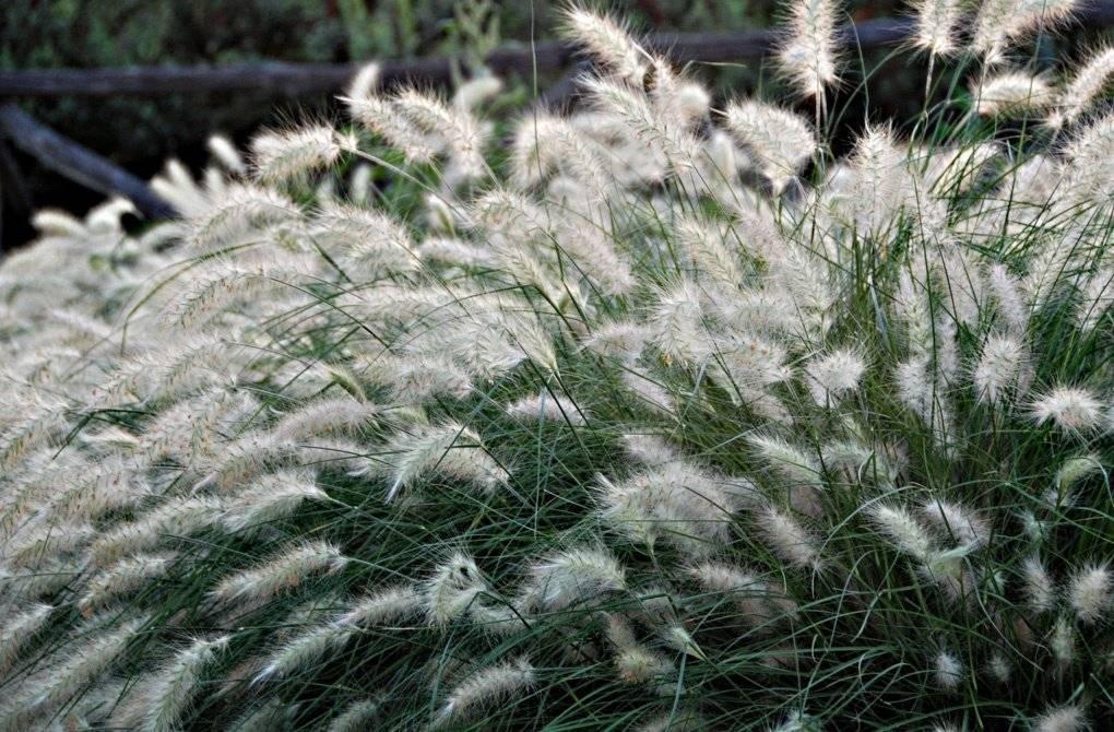 Пеннисетум щетинистый выращивание. как посадить и вырастить пеннисетум (слоновая трава, перистощетинник пурпурный)