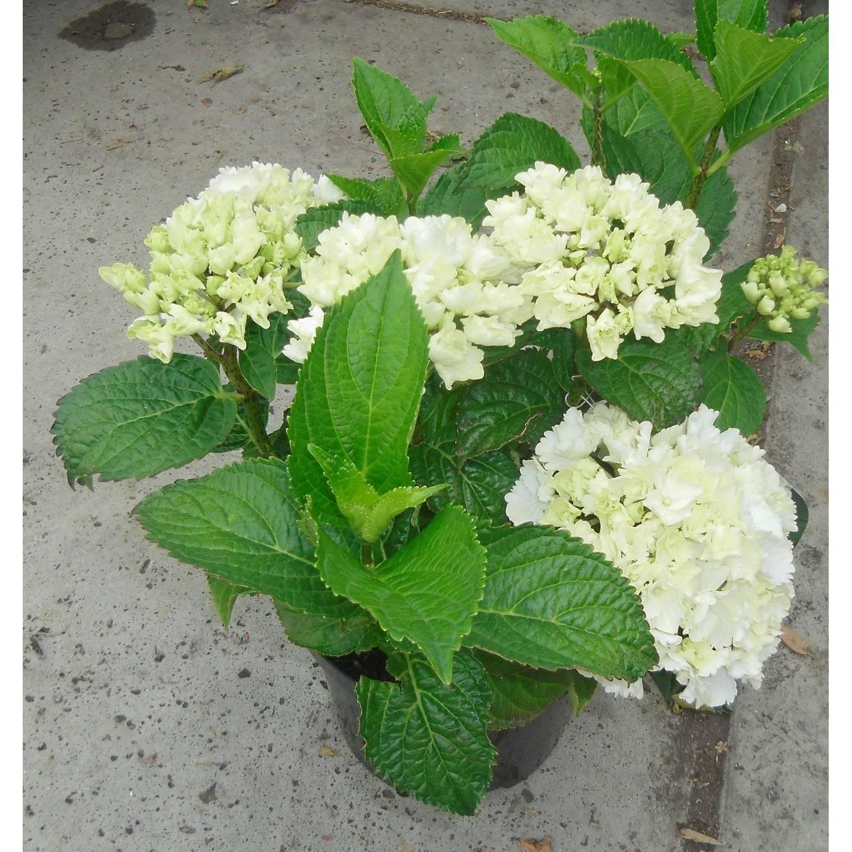 Юкка садовая и нитчатая на даче — когда цветет - pocvetam.ru