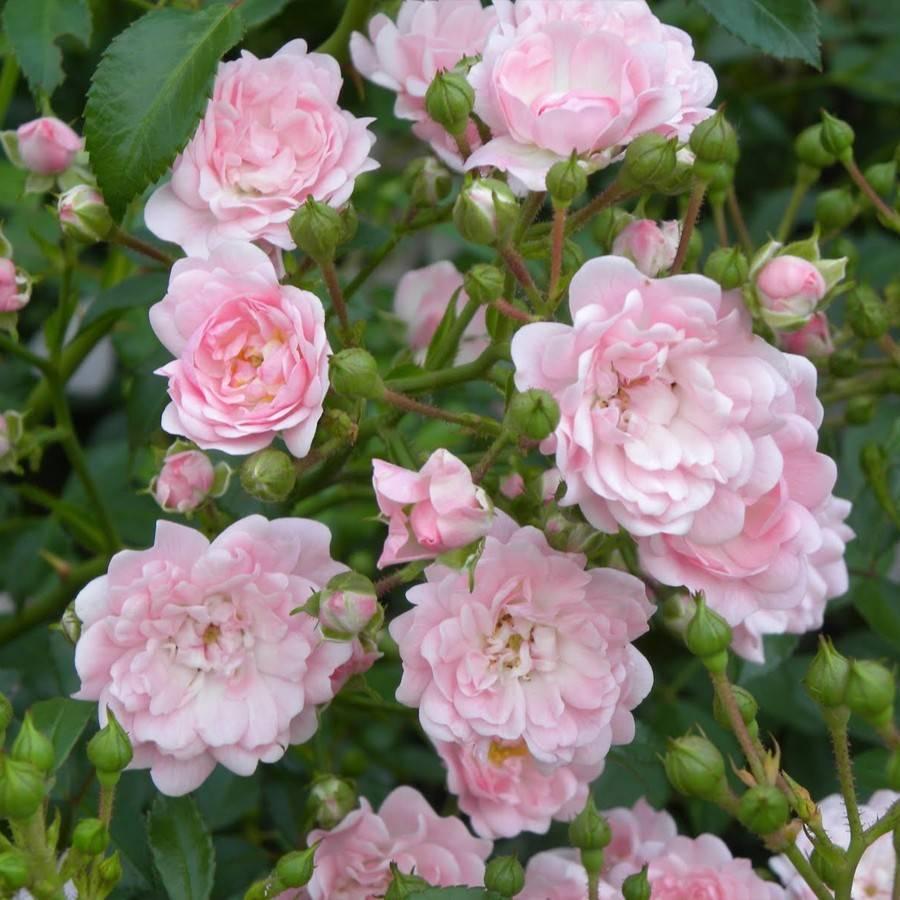 Роза Минерва (Minerva) — выращивание флорибунды