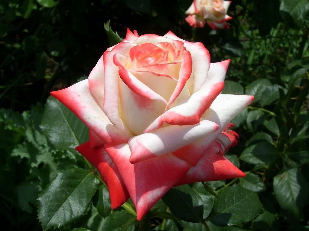 Выращиваем чайно-гибридные розы и выбираем сорта