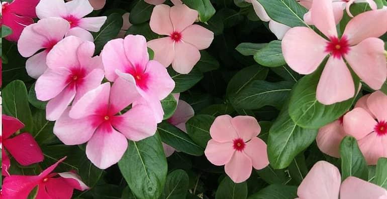 Катарантус: что это за растение, комнатное оно или нет, а также фото на клумбе в саду, выращивание цветка в домашних условиях и открытом грунте