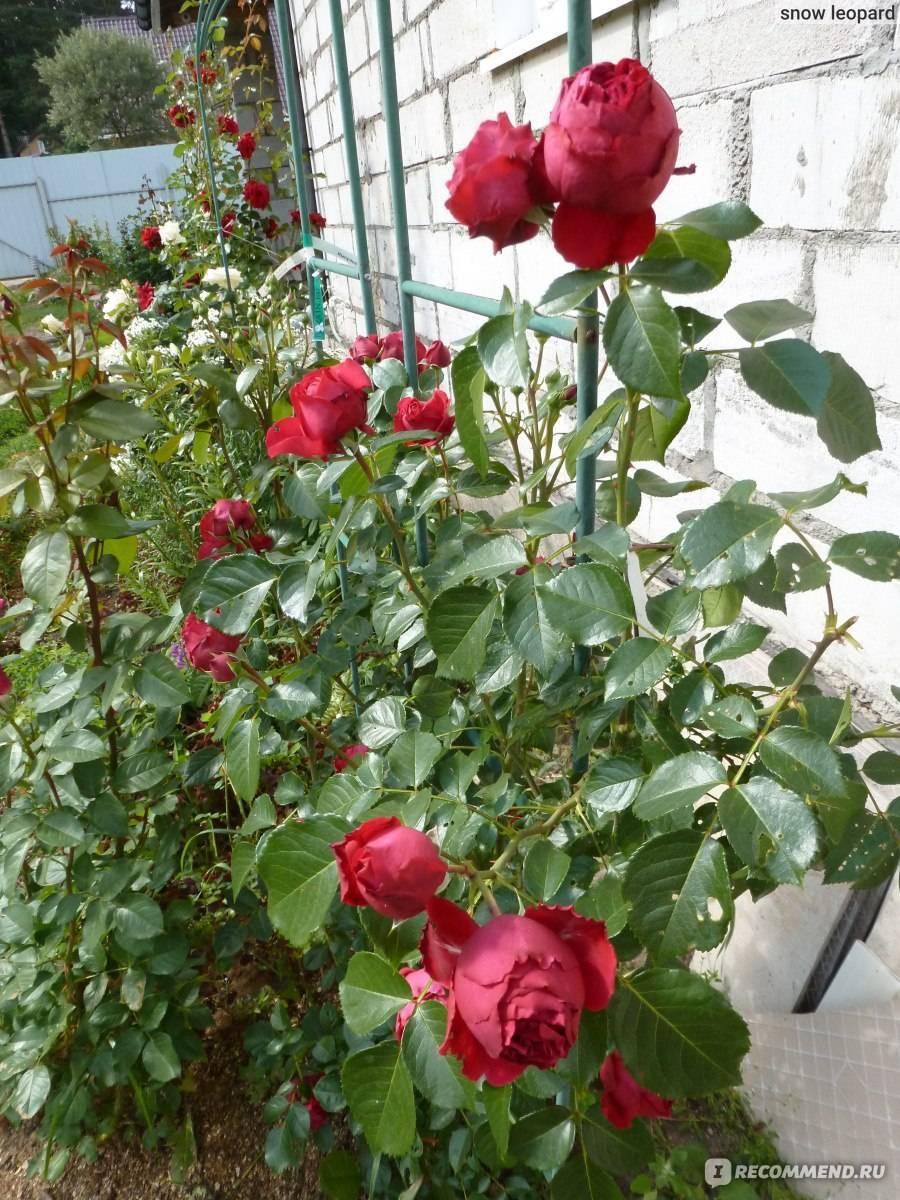 Плетистые розы в саду, сорта, описание, фото | выращивание, уход за розами, сорта и букеты из роз