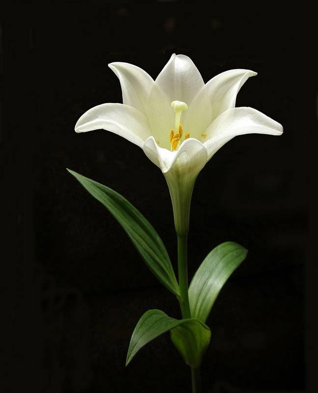 Мини-лилия: какая называется цветок мелкий, белый, на толстом стебле