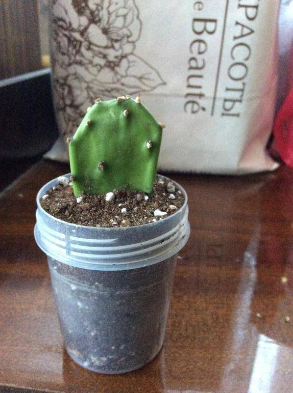 Как правильно пересадить кактус в домашних условиях