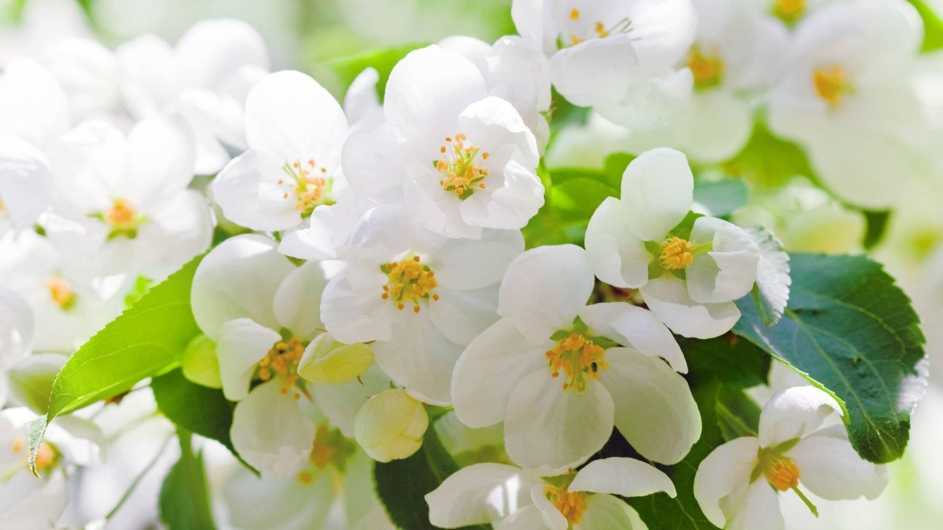 Как вырастить комнатный жасмин: подбор сорта, уход, причины отсутствия цветения