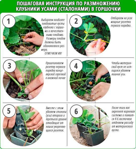 Правила посадки и ухода за обриетой. высадка в открытый грунт: обрезка, размножение