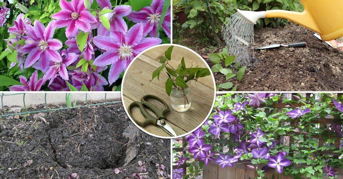 Эремурус – растение аристократ