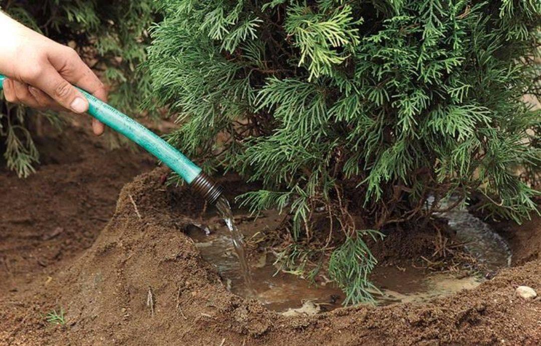 Лавровое дерево в домашних условиях: посадка, условия выращивания, уход за неприхотливым комнатным растением