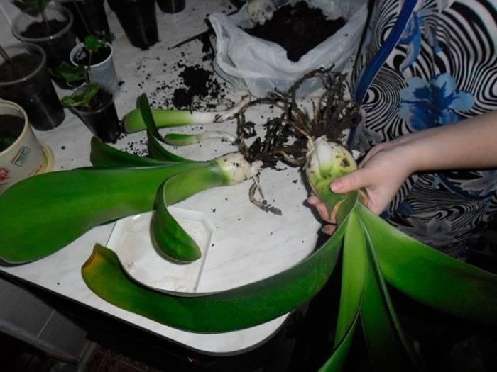 Гемантус — уход в домашних условиях за цветком