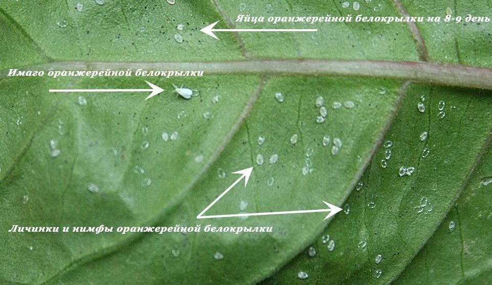 Как бороться с белокрылкой на комнатных растениях — проверенные способы