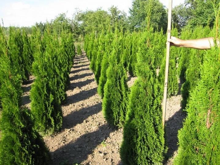 Как правильно посадить и вырастить тую смарагд. сажаем, ухаживаем и боремся с болезнями.