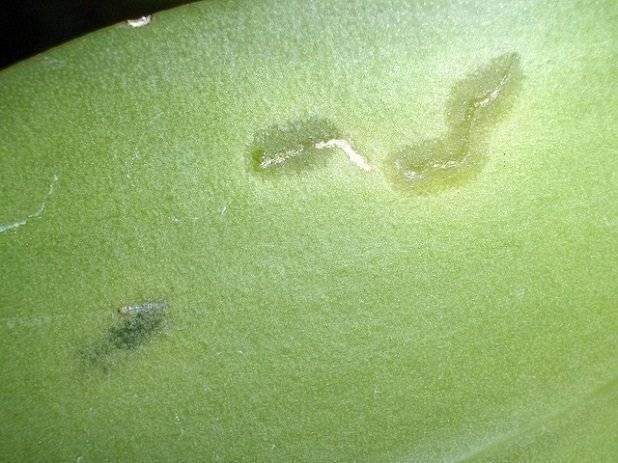 Варианты как избавиться от белых мохнатых жучков на орхидее, причины появления