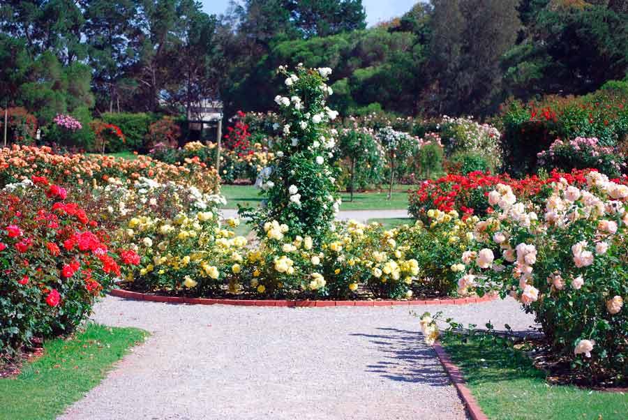 Топ-9 самых красивых бордюрных роз