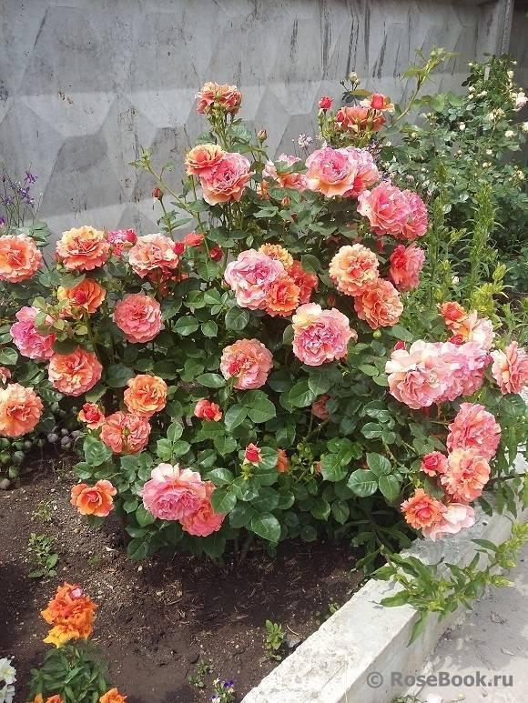 Роза ред интуишн (red intuition) — описание садового сорта