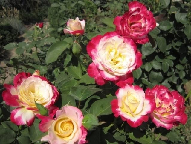 Описание розы дабл делайт: внешний вид, устойчивость к болезням, зимостойкость