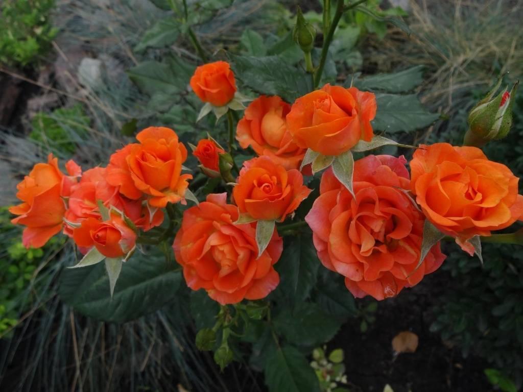 Роза файер флеш (fire flash) — описание сорта