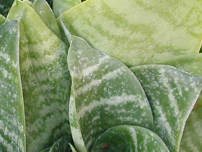 Сансевиерия: сорта, уход, размножение