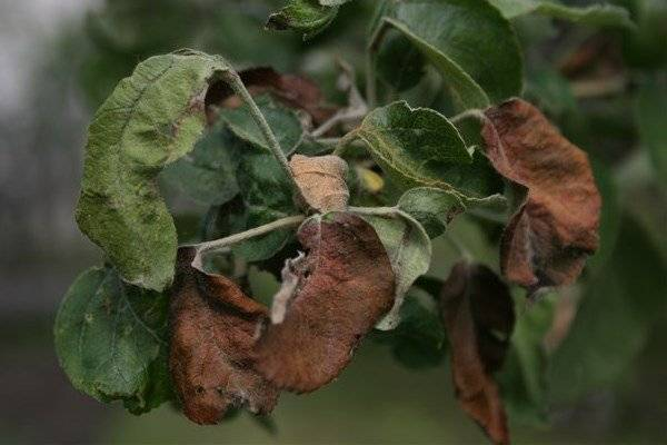 Почему опадают листья у декабриста