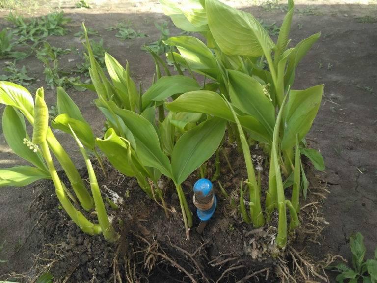 Растение хоста посадка и уход в открытом грунте выращивание из семян фото с названиями