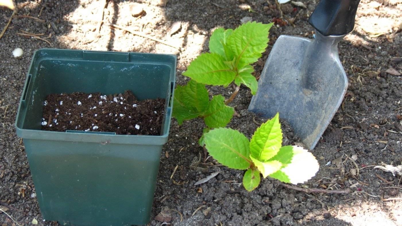 Барбарис: уход за кустарником и правила его выращивания
