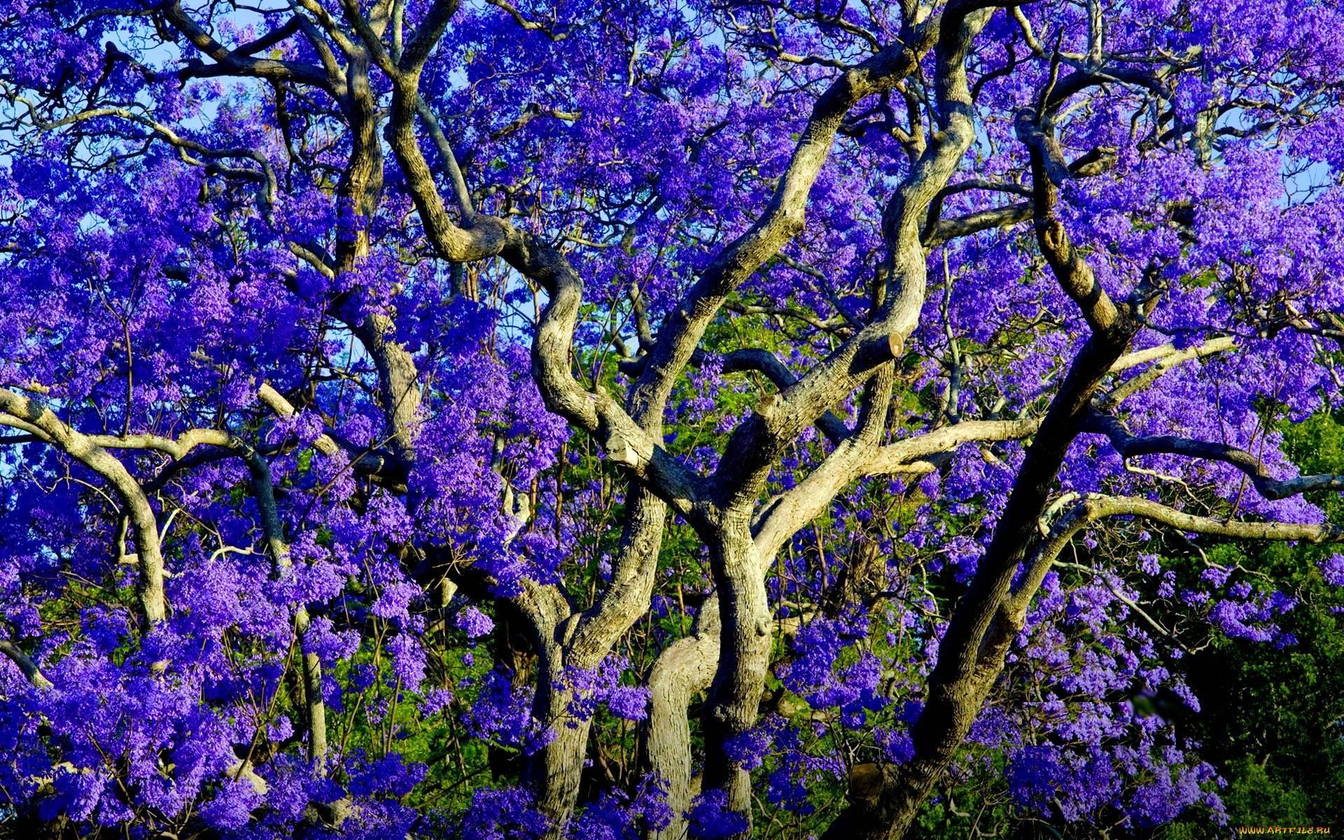 Мимозолистная жакаранда — фиалковое дерево у вас дома