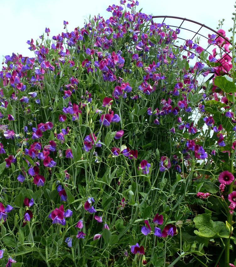 Душистый горошек многолетний: выращивание из семян, посадка и уход, фото