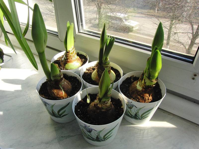 Кливия уход в домашних условиях размножение приметы и суеверия