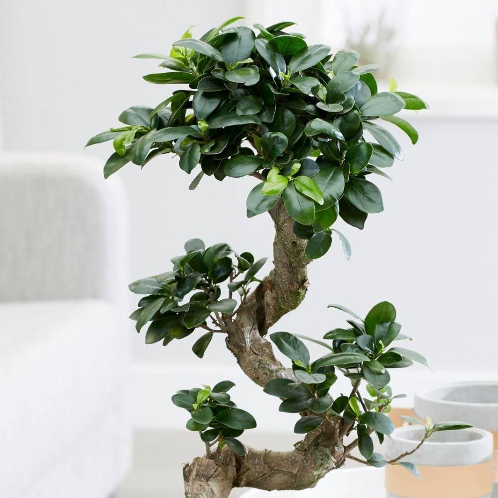 Фикусы — разновидности с мелкими и крупными листьями, пестролистный и карликовый