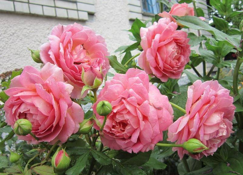 Лучшие сортовые цветы от дэвида остина: описание роз, плетистые разновидности