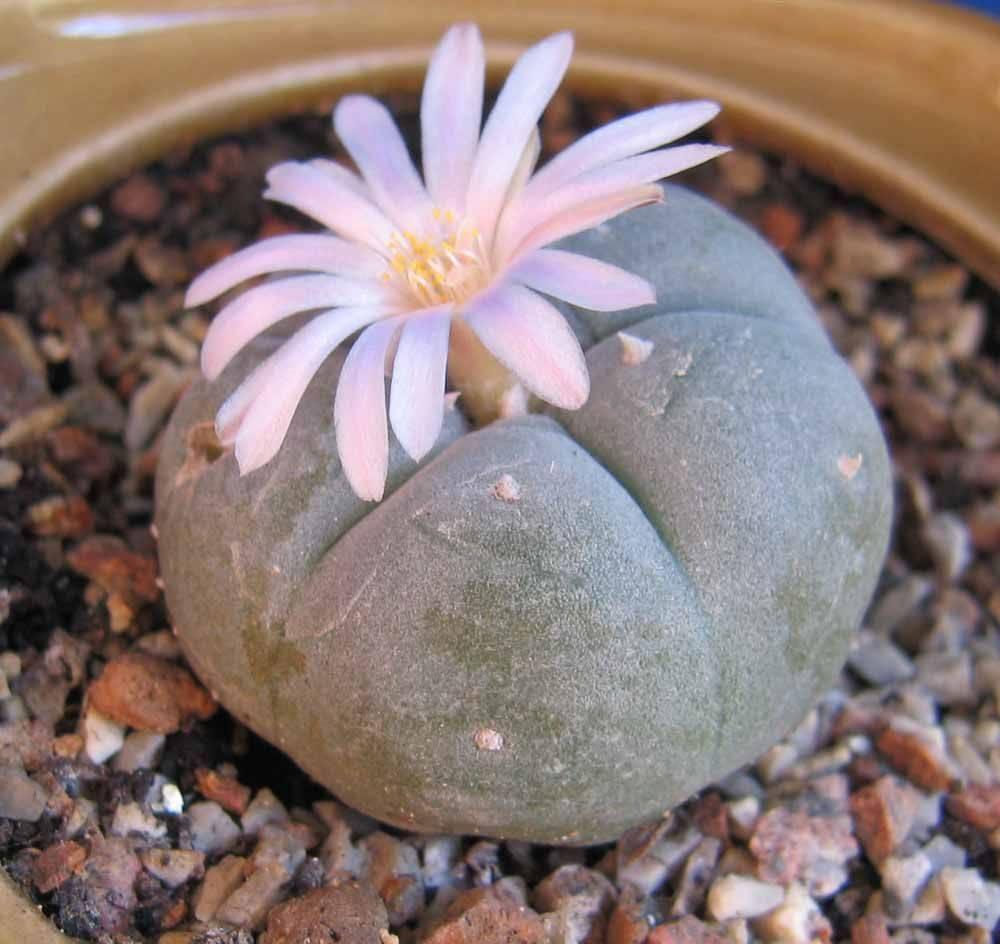 Выращивание араукарии комнатной: как посадить, размножать, пересаживать, какой горшок