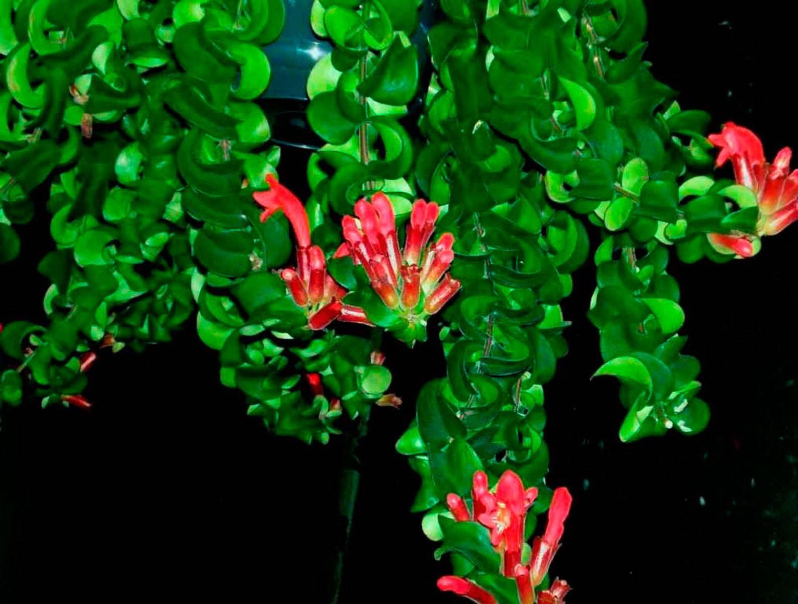 Эсхинантус (красивый, мона лиза) - уход в домашних условиях и размножение цветка